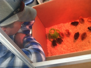 Adam being entertained by the chicks.