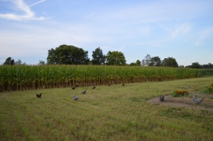 Field corn surrounding our new home.  (And the chickens.  Arn't they cute?!)