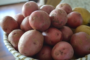 Some of out root  veggie loot... Spuds!