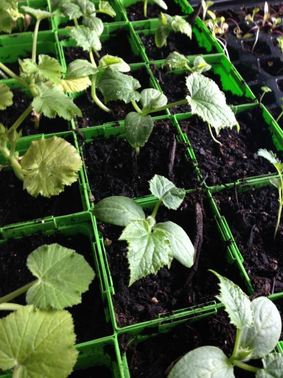 Zucchini, Cucumbers and Kale... getting big!